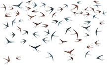 Flying Swallow Birds Silhouettes Vector Illustration. Migratory Martlets Flock Isolated On White.