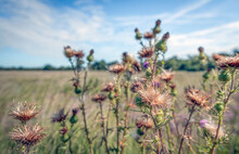 Closeup Of Overblown And Flowering Spiny Plumeless Thistle Pla\nts In The Foreground Of A Large Field In The Netherlands. It Is A Sunny Day In The Summer Season.