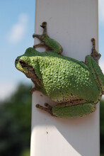 Close-up Of Gray Tree Frog