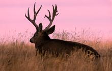 Mule Deer Buck At Sunrise In Autumn In Colorado