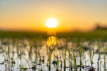 Close Up Of Growing Rice Fields During Sunset In The Albufera Natural Park, Valencia, Spain.