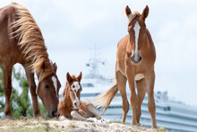 Family Of Horses With A Colt On Grand Turk Island