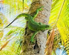Green Iguana On A Palm Tree