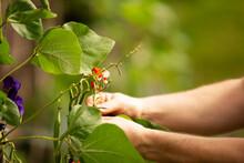 Close Up Man Pruning String Bean Plant In Garden