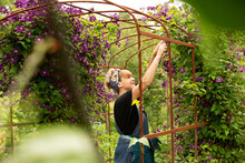 Woman Pruning Purple Clematis Flowers On Trellis In Summer Garden