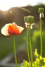 Beautiful Red Poppy Flower Growing In Sunny Garden