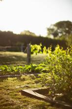 Plants Growing In Sunny Idyllic Summer Garden