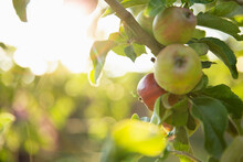 Close Up Apples Growing On Branch In Sunny Orchard