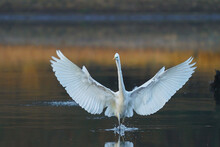 Great White Egret (Ardea Alba) - White Heron