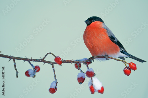 Fotografie, Obraz Bullfinch, Pyrrhula pyrrhula, single male on red berries
