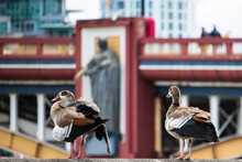 Close-up Of Egyptian Geese Perching In Front Of Vauxhall Bridge. Metropolitan Ducks