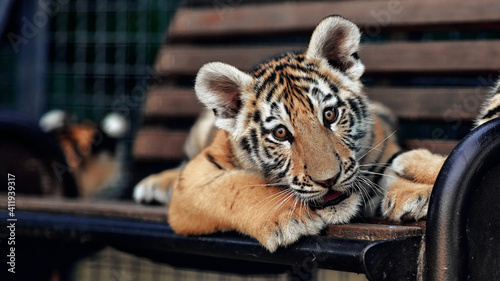 Fototapeta Little tiger cubs playing. young Tiger