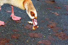 Hungry Egyptian Goose