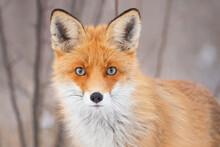 Red Fox Vulpes Vulpes In A Winter Landscape