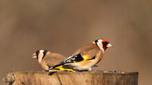Two Goldfinches Carduelis Carduelis On A Bird Feeder In The Garden In Winter