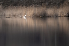 White Great Egret (Ardea Alba) On A Lake, Egret Reflection On Water