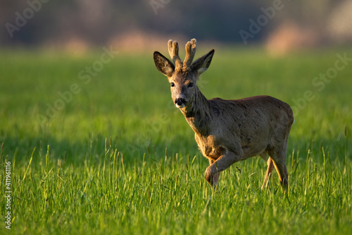Roe deer, capreolus capreolus, buck with velvet antlers walking on grass in spring. Animal wildlife moving on sunny meadow. Wild mammal marching on glade in sunlight