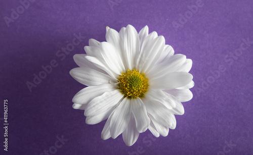 Daisy flower Tapéta, Fotótapéta