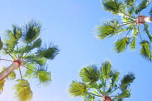 Very Tall Palm Trees Stretching To The Sky, View From Below.Against The Blue Sky.