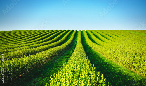Row of blackcurrant bushes on a summer farm in sunny day. Fotobehang