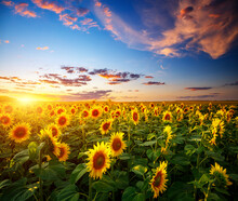 Attractive Scene Of Vivid Yellow Sunflowers In The Evening.