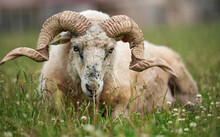 Sheep With Twisted Horns, (Traditional Slovak Breed - Original Valaska ) Resting In Spring Meadow Grass