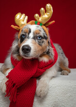 Portrait Of An Australian Shepherd Dog Wearing A Scarf And Antlers