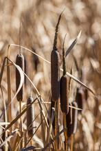 Cattails In Fall Close Up