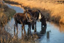 Bull Moose Drinking In Stream Below Tetons Range