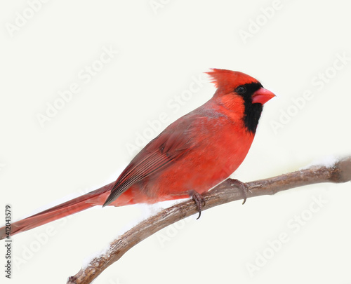Stampa su Tela male red cardinal standing on tree branch in snow