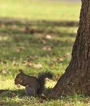 Brown Squirrel Eating Peanut By A Tree