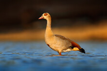 Egyptian Goose, Alopochen Aegyptiaca, African Bird With Red Bill In The Lake Water. Animal Portrait Hidden In Habitat, Mana Pools, Zimbabwe. Wildlife Scene From Nature. Wet Season In March.