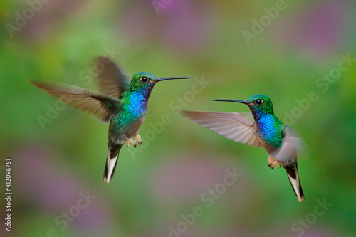 Fototapeta premium Green-backed Hillstar, Urochroa bougueri leucura, green blue hummingbird from San Isidro in Ecuador. Two birds fly fight in the tropic forest. Hummingbirds flight in nature habitat.