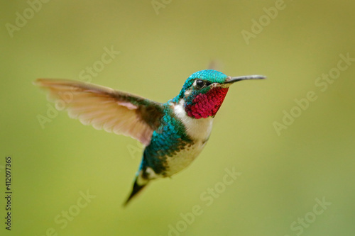 Fototapeta premium Fly detail, moving wings. White-bellied Woodstar, hummingbird with clear green background. Bird from Tandayapa, Ecuador. Flying hummingbird in tropical forest.