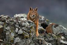 Golden Jackal, Canis Aureus, Feeding Scene On Meadow, Eastern Rhodopes. Wild Dog Behaviour Scene In Nature. Mountain Animal In The Habitat. Bulgaria Wildlife, Balkan In Europe.