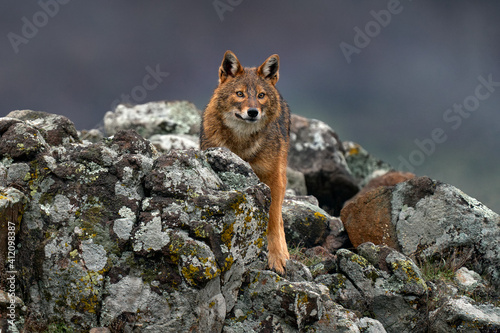 Canvastavla Golden jackal, Canis aureus, feeding scene on meadow, Eastern Rhodopes