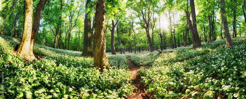 Fototapeta Wild garlic flowers in the forest with sun - Nature landscape