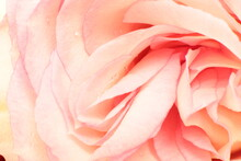 Summer Bloom Rose, Bright Beautiful Light Background For Calendar Most Popular Flowers