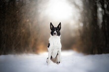 Black And White Border Collie Dog In Winter