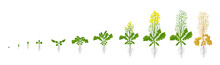 Rapeseed Oilseed Rape Plant. Growth Stages. Growing Period Steps. Harvest Animation Progression Development. Fertilization Phase. Cycle Of Life. Vector Infographic Set.
