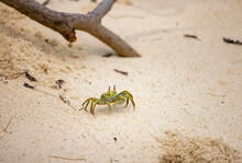 Ghost Crab On Cousin Island Nature Reserve In The Seychelles