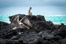 Brown Pelicans On A Rock, Isabela Island, Ecuador