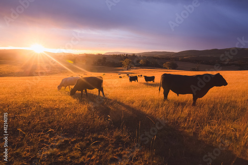 Australian black lowline cows (Bos primigenius) against a colourful, dramatic sunset or sunrise sky in rural countryside landscape near Rydal in the Blue Mountains National Park in NSW, Australia Fotobehang