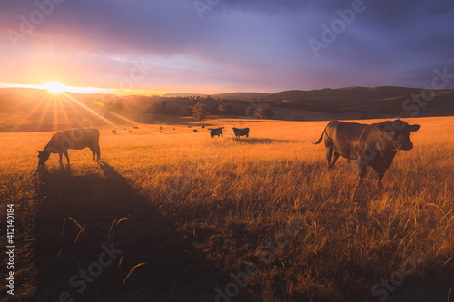 Fototapeta Australian black lowline cows (Bos primigenius) against a colourful, dramatic sunset or sunrise sky in rural countryside landscape near Rydal in the Blue Mountains National Park in NSW, Australia. obraz