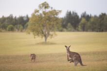 Portrait Of Eastern Grey Kangaroos (Macropus Giganteus) A Mother And Her Baby Joey In Pouch, Have Become Pests In The Wine Country Region Of The Hunter Valley, NSW, Australia.