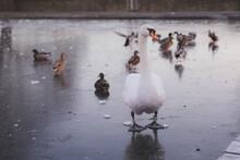 A European White Mute Swan (Cygnus Olor) With Mallards, On A Frozen Winter Duck Pond At Inverleith Park In Stockbridge, Edinburgh, Scotland.