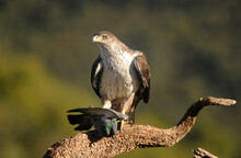Aguila Perdicera En La Sierra Extremeña