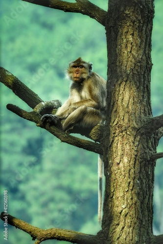 Fototapeta premium Portrait Of A Long-tailed Monkey In The Tree
