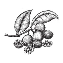 Walnuts Whole And Halves. A Branch Of A Walnut Tree With Green Fruits. Hand Drawn Sketches Vector Illustration On White Background In Vintage Style.