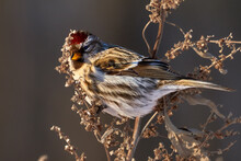Bird - Redpoll ( Acanthis Flammea ) Female Sits On Dry Grass And Eats Last Year's Seeds. Sunny Winter Day. Close-up.